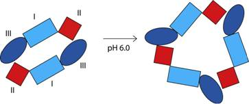 Schematic Representation of the Low pH Conformational Change