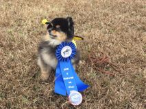 puppy with first place ribbon and in yellow jacket costume